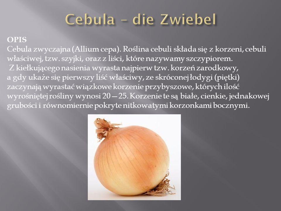 Cebula – die Zwiebel