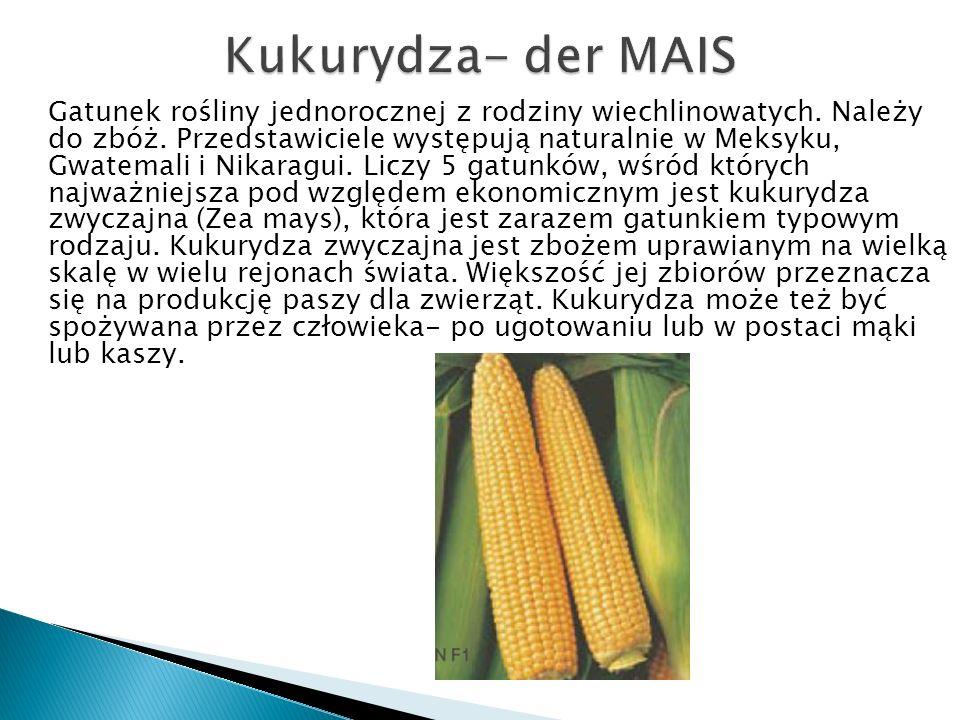 Kukurydza- der MAIS