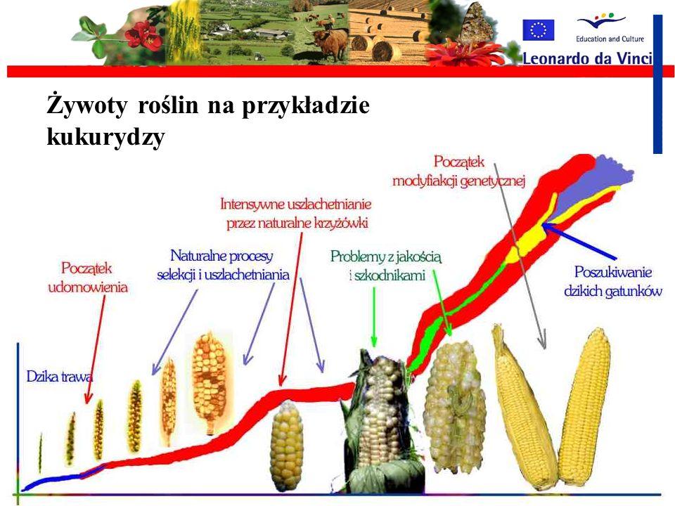 Żywoty roślin na przykładzie kukurydzy