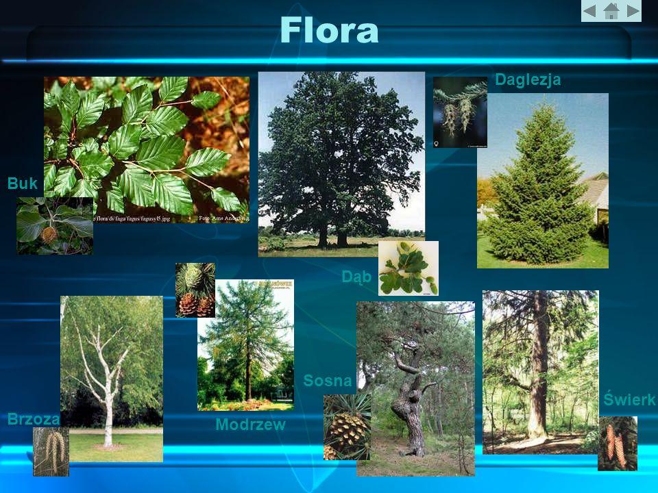 Flora Daglezja Buk Dąb Sosna Świerk Brzoza Modrzew