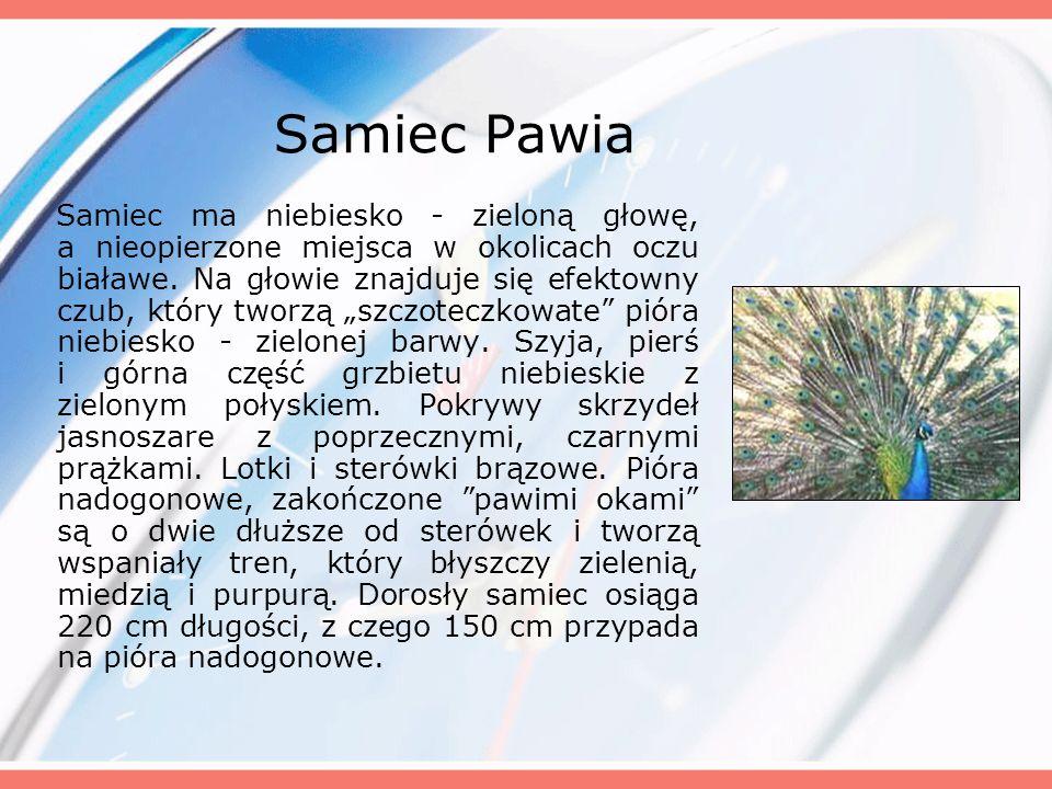 Samiec Pawia