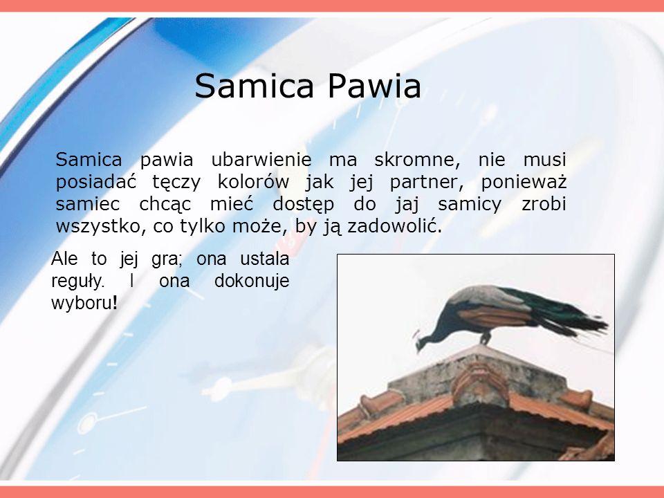 Samica Pawia