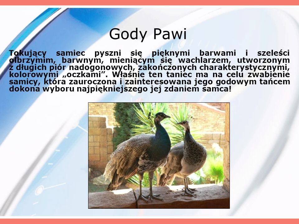 Gody Pawi