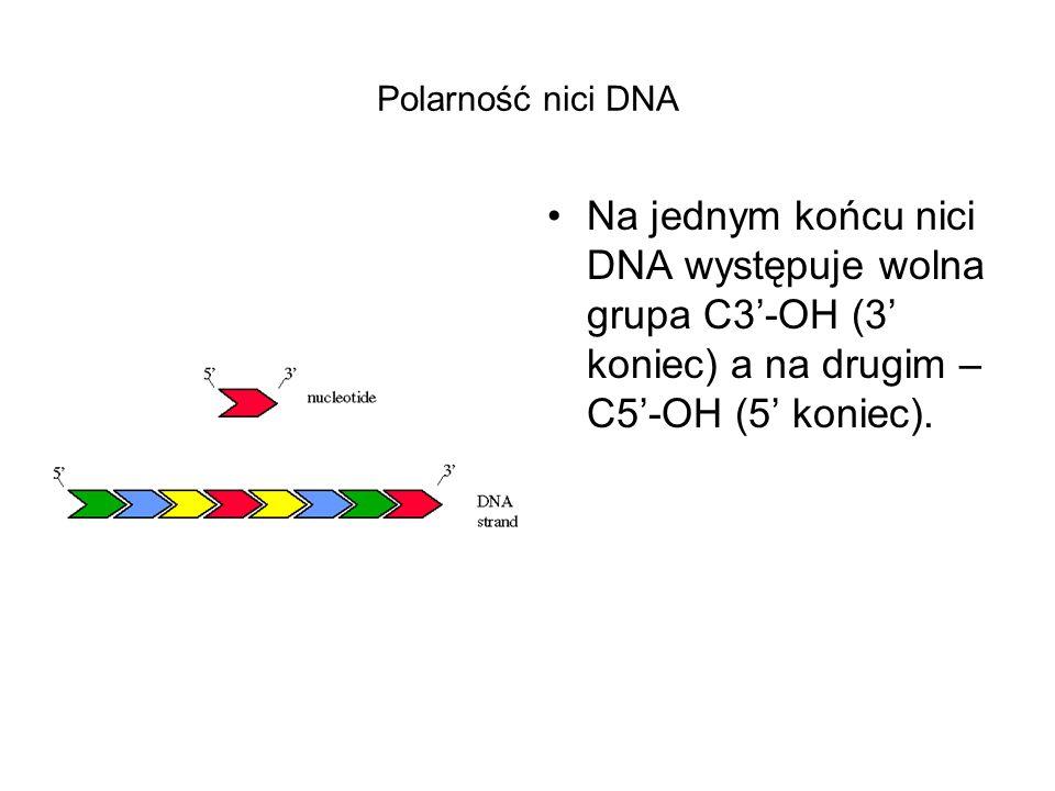 Polarność nici DNA Na jednym końcu nici DNA występuje wolna grupa C3'-OH (3' koniec) a na drugim – C5'-OH (5' koniec).