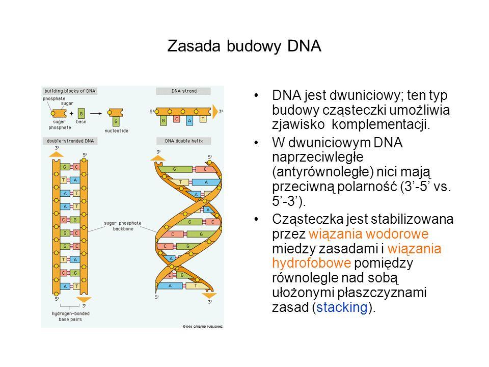 Zasada budowy DNA DNA jest dwuniciowy; ten typ budowy cząsteczki umożliwia zjawisko komplementacji.