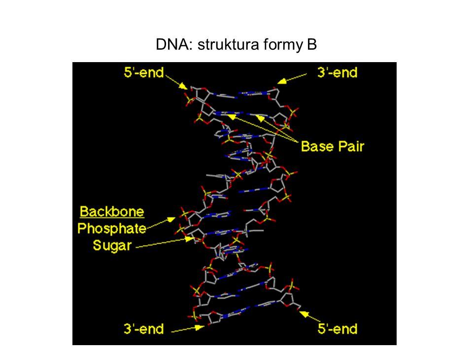 DNA: struktura formy B