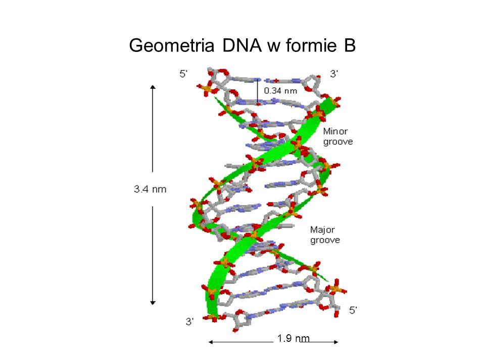 Geometria DNA w formie B