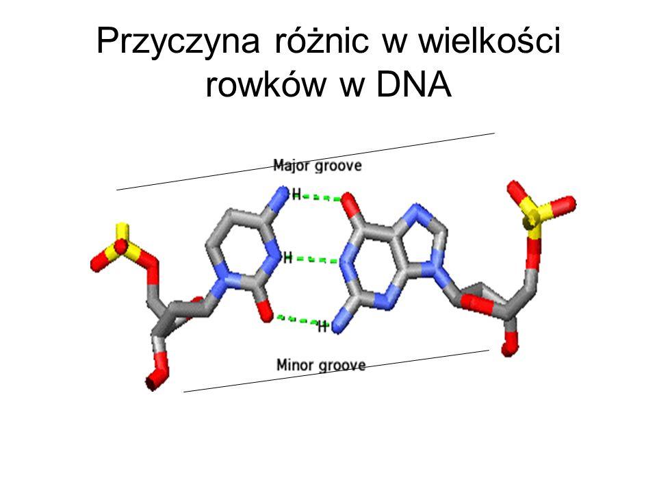 Przyczyna różnic w wielkości rowków w DNA