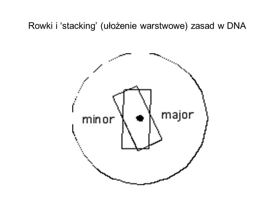 Rowki i 'stacking' (ułożenie warstwowe) zasad w DNA