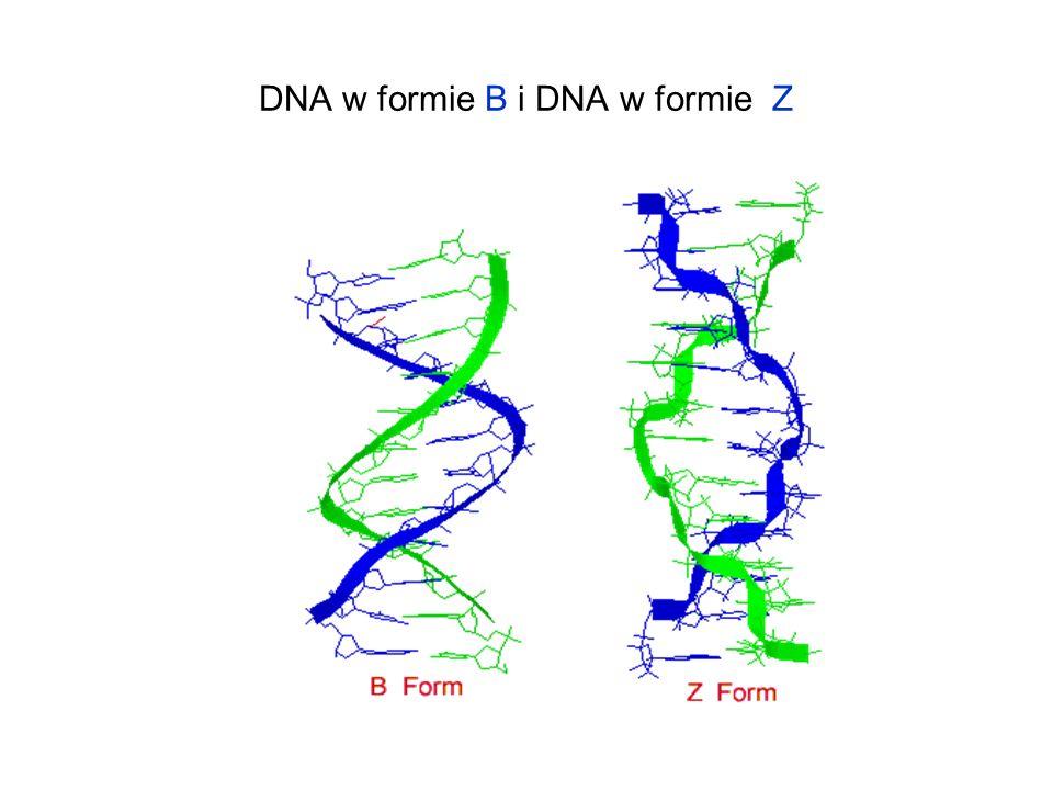 DNA w formie B i DNA w formie Z