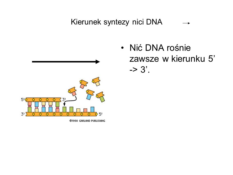 Kierunek syntezy nici DNA