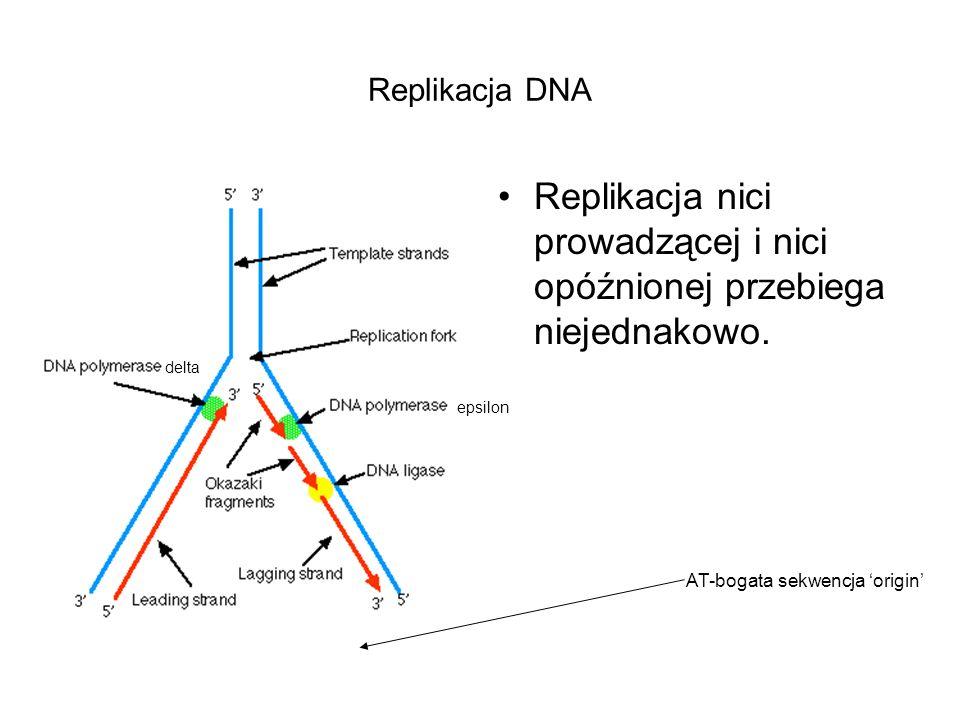 Replikacja nici prowadzącej i nici opóźnionej przebiega niejednakowo.