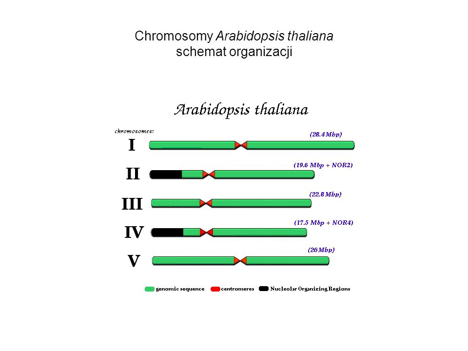 Chromosomy Arabidopsis thaliana schemat organizacji