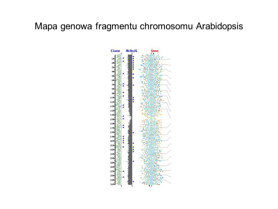 Mapa genowa fragmentu chromosomu Arabidopsis