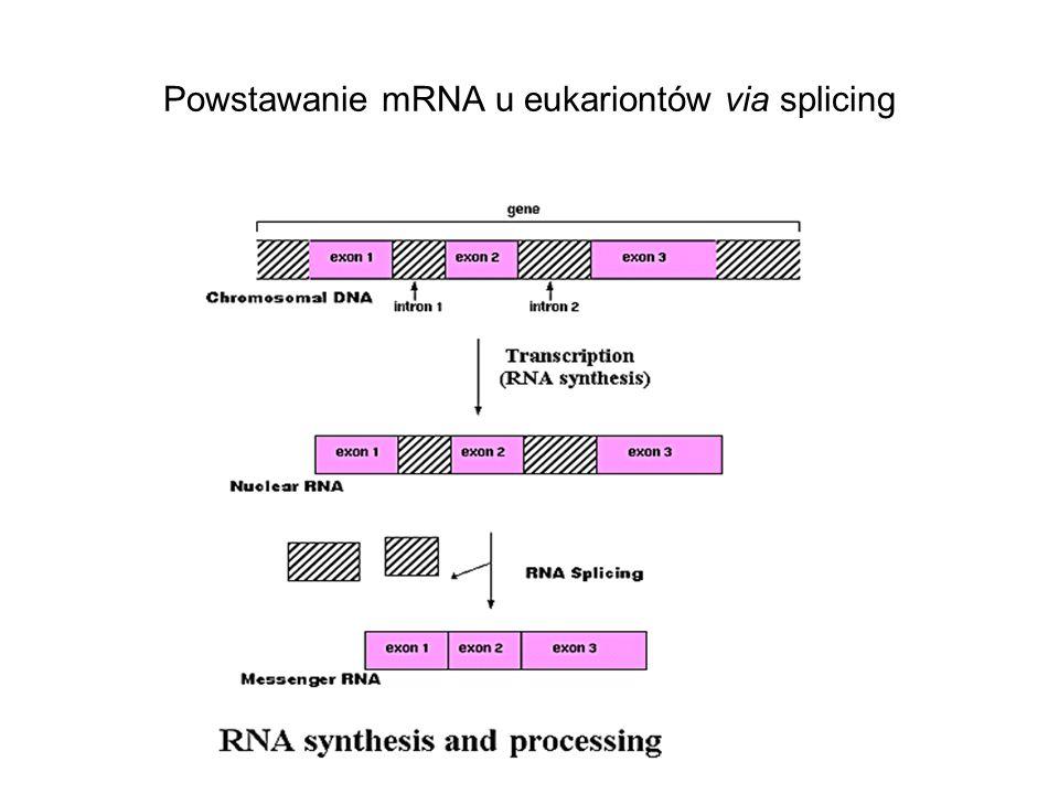 Powstawanie mRNA u eukariontów via splicing