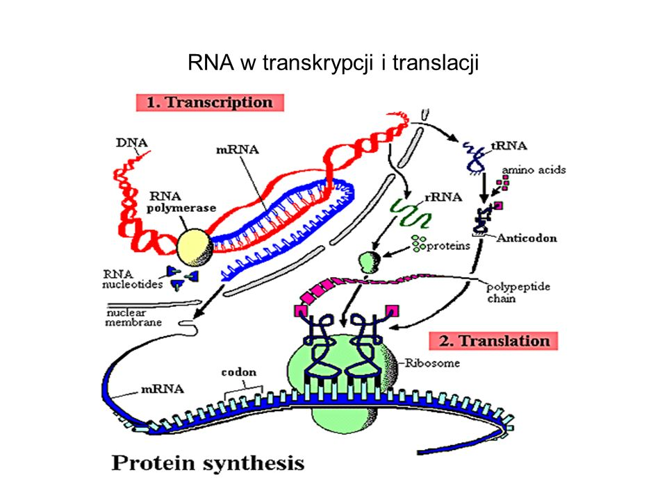 RNA w transkrypcji i translacji