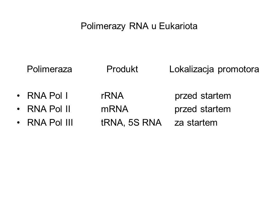 Polimerazy RNA u Eukariota