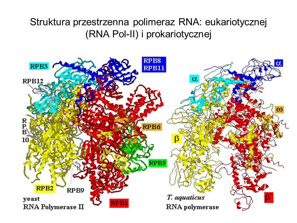 Struktura przestrzenna polimeraz RNA: eukariotycznej (RNA Pol-II) i prokariotycznej