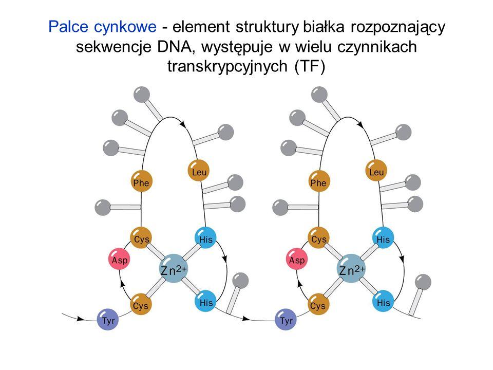 Palce cynkowe - element struktury białka rozpoznający sekwencje DNA, występuje w wielu czynnikach transkrypcyjnych (TF)