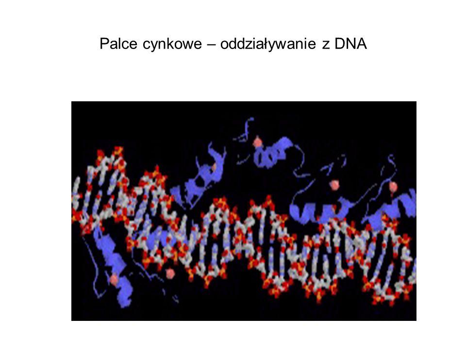 Palce cynkowe – oddziaływanie z DNA