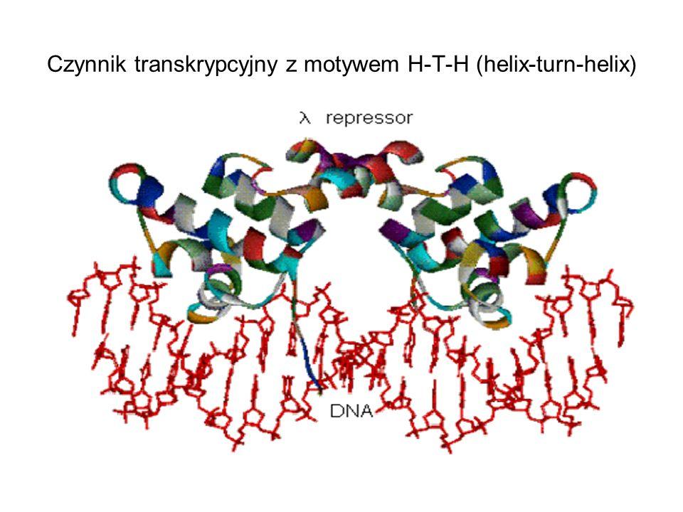 Czynnik transkrypcyjny z motywem H-T-H (helix-turn-helix)