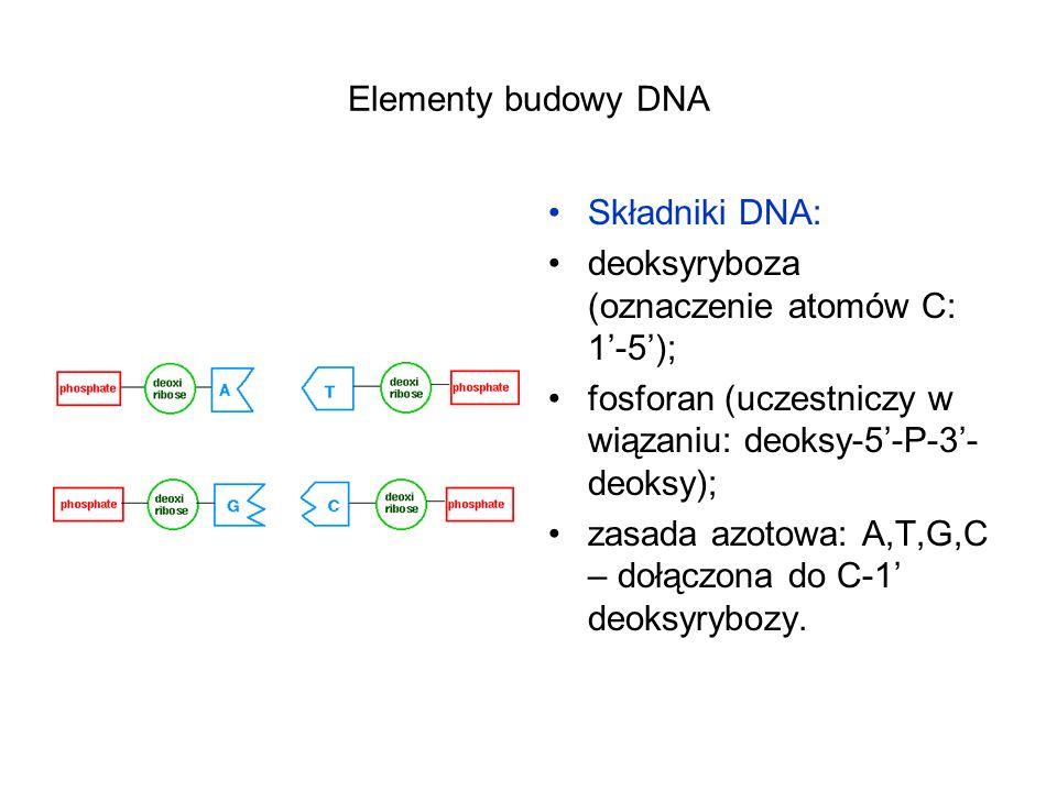 Elementy budowy DNA Składniki DNA: deoksyryboza (oznaczenie atomów C: 1'-5'); fosforan (uczestniczy w wiązaniu: deoksy-5'-P-3'-deoksy);
