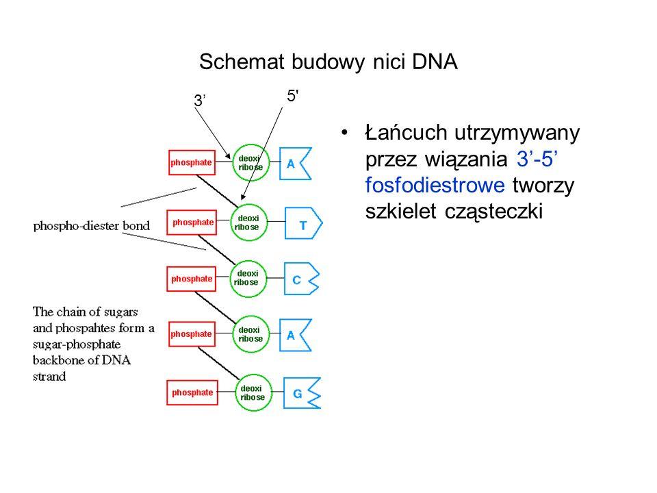 Schemat budowy nici DNA