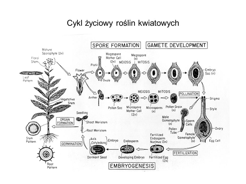 Cykl życiowy roślin kwiatowych