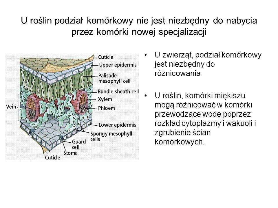 U roślin podział komórkowy nie jest niezbędny do nabycia przez komórki nowej specjalizacji