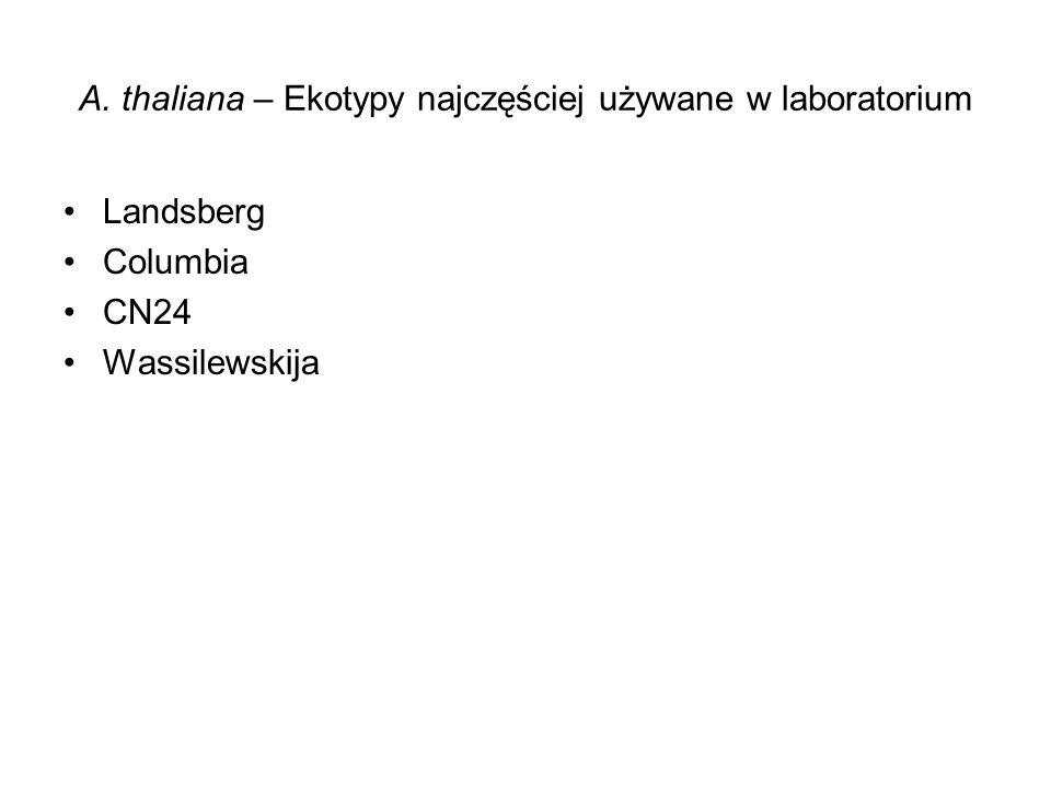 A. thaliana – Ekotypy najczęściej używane w laboratorium