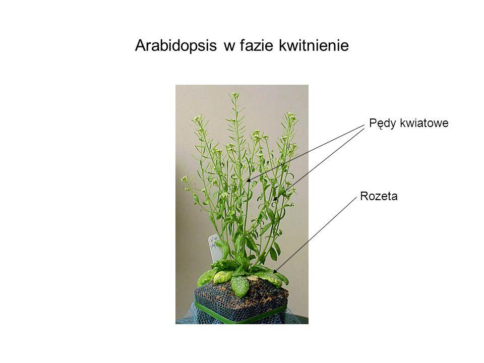Arabidopsis w fazie kwitnienie
