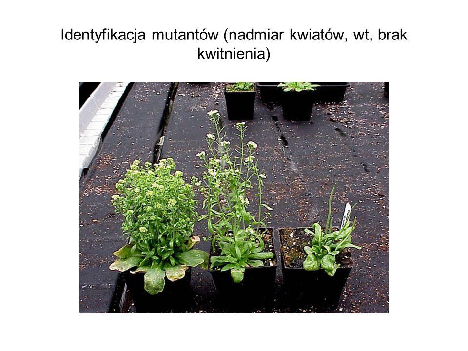 Identyfikacja mutantów (nadmiar kwiatów, wt, brak kwitnienia)