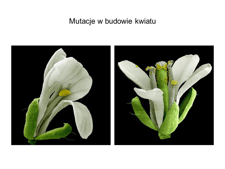 Mutacje w budowie kwiatu