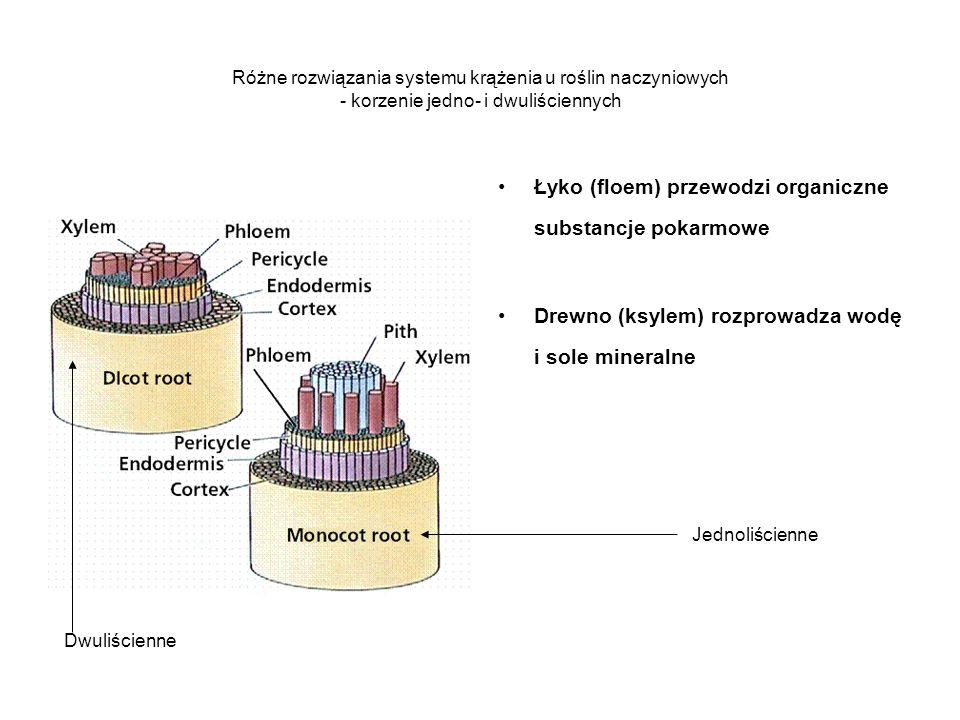Łyko (floem) przewodzi organiczne substancje pokarmowe