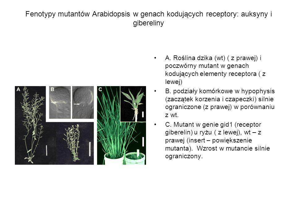 Fenotypy mutantów Arabidopsis w genach kodujących receptory: auksyny i gibereliny
