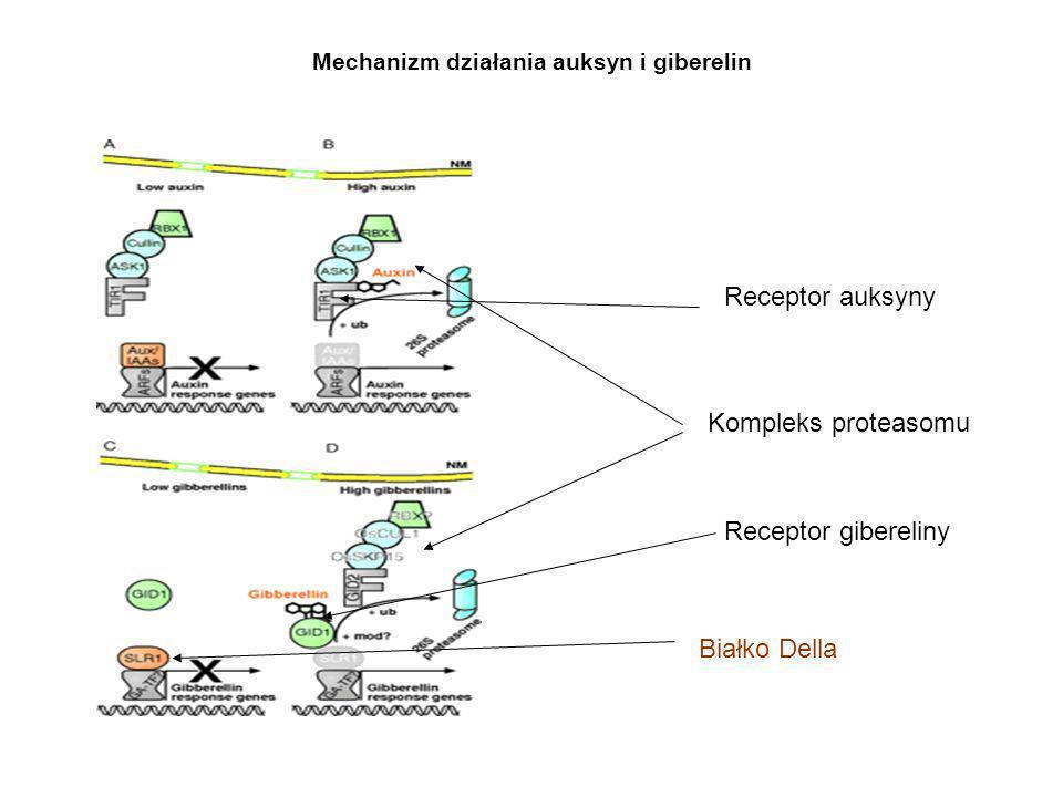 Mechanizm działania auksyn i giberelin
