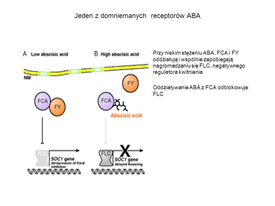 Jeden z domniemanych receptorów ABA