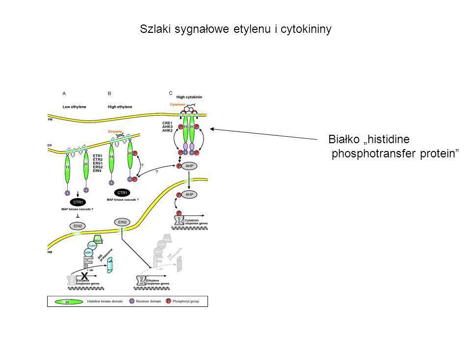 Szlaki sygnałowe etylenu i cytokininy