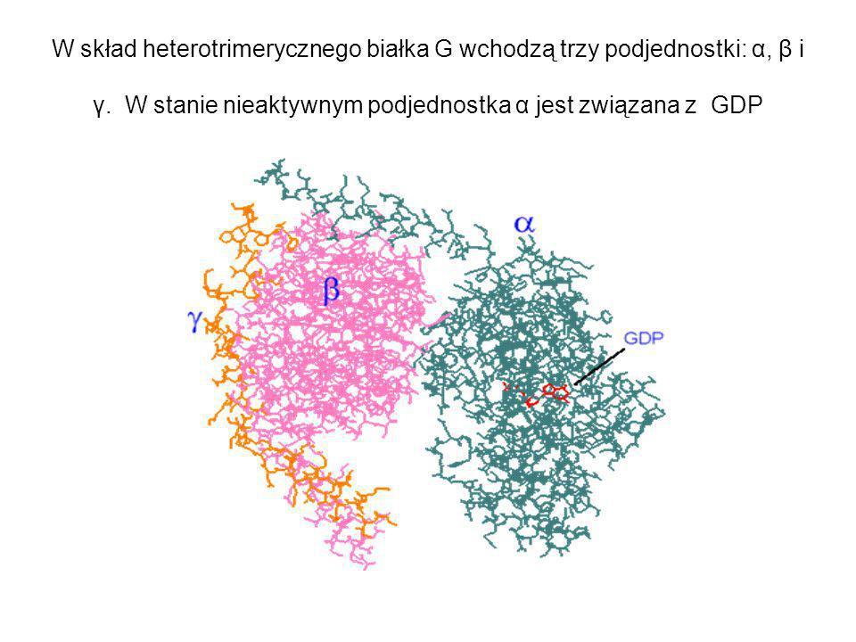W skład heterotrimerycznego białka G wchodzą trzy podjednostki: α, β i γ. W stanie nieaktywnym podjednostka α jest związana z GDP