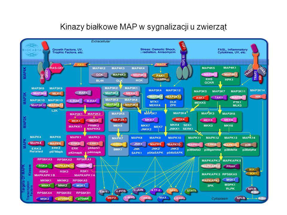 Kinazy białkowe MAP w sygnalizacji u zwierząt