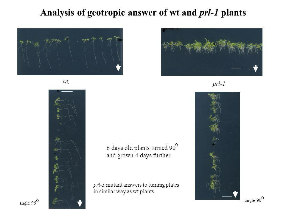 Analysis of geotropic answer of wt and prl-1 plants