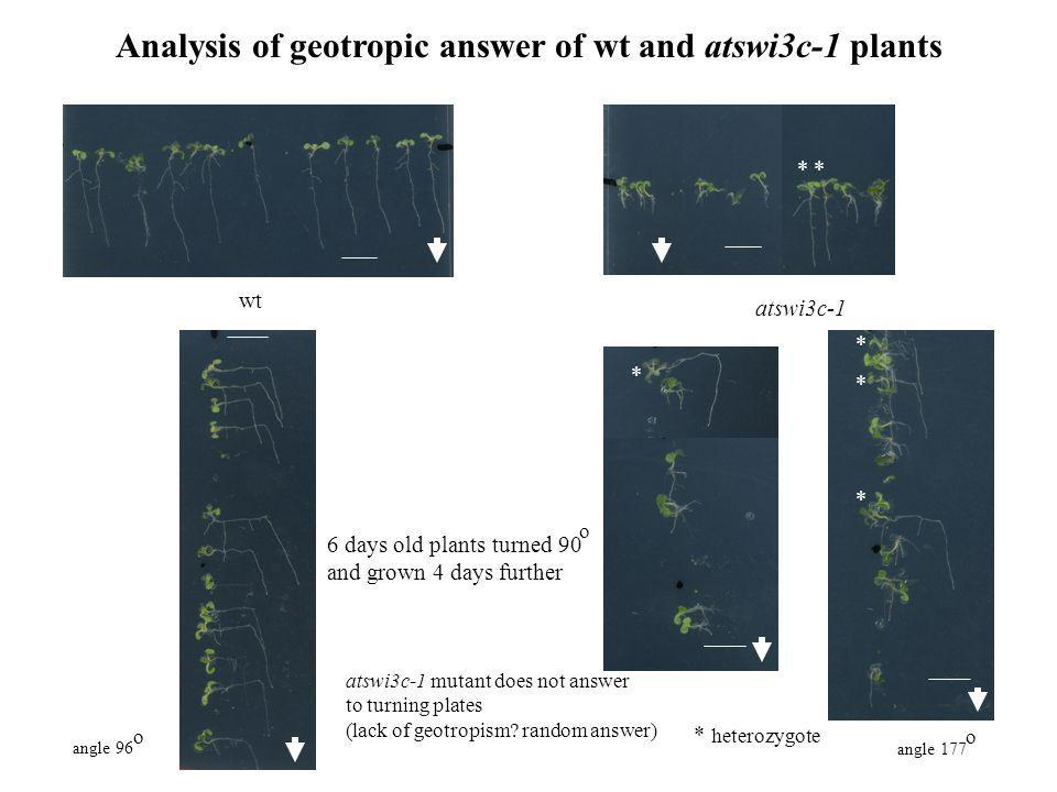 Analysis of geotropic answer of wt and atswi3c-1 plants
