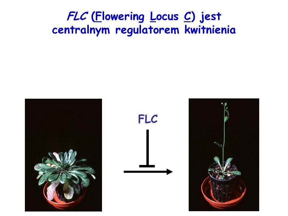 FLC (Flowering Locus C) jest centralnym regulatorem kwitnienia