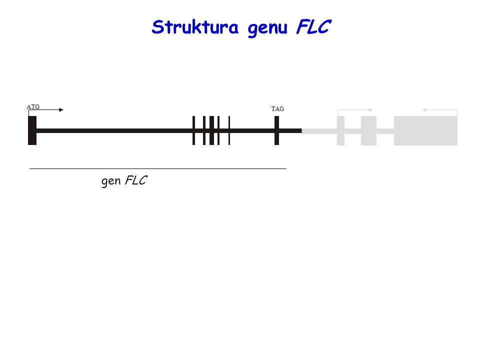 Struktura genu FLC ATG. TAG. gen FLC. FLC is MADS box type transcription factor with 7 exons.