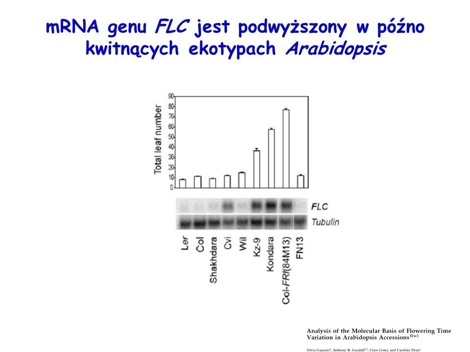 mRNA genu FLC jest podwyższony w późno kwitnących ekotypach Arabidopsis