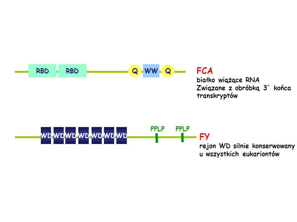 FCA FY RBD WW Q białko wiążące RNA Związane z obróbką 3` końca