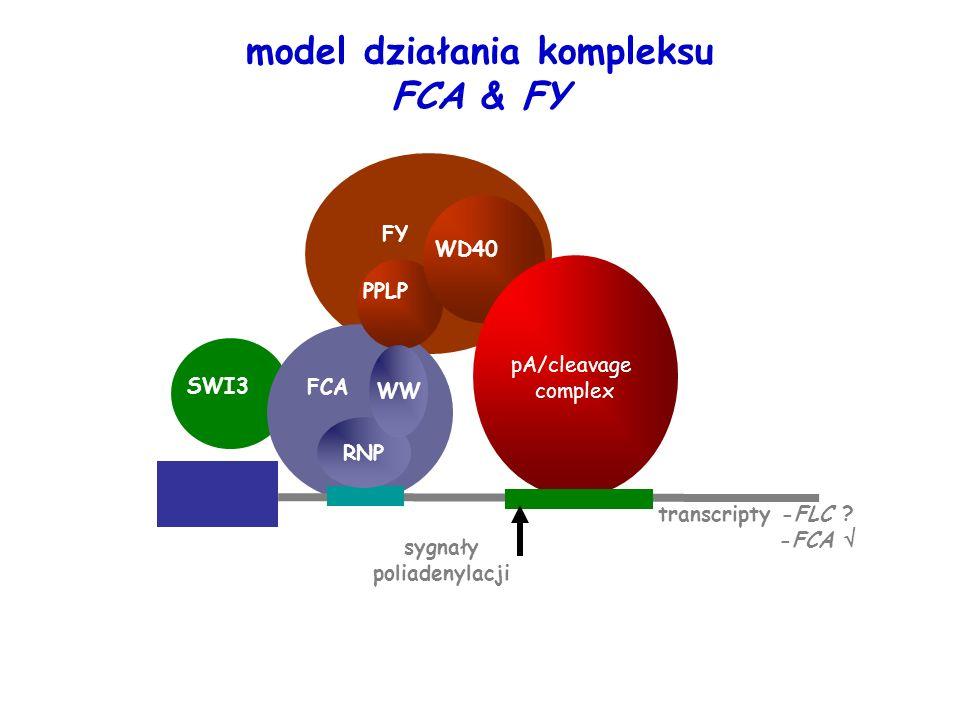 model działania kompleksu FCA & FY