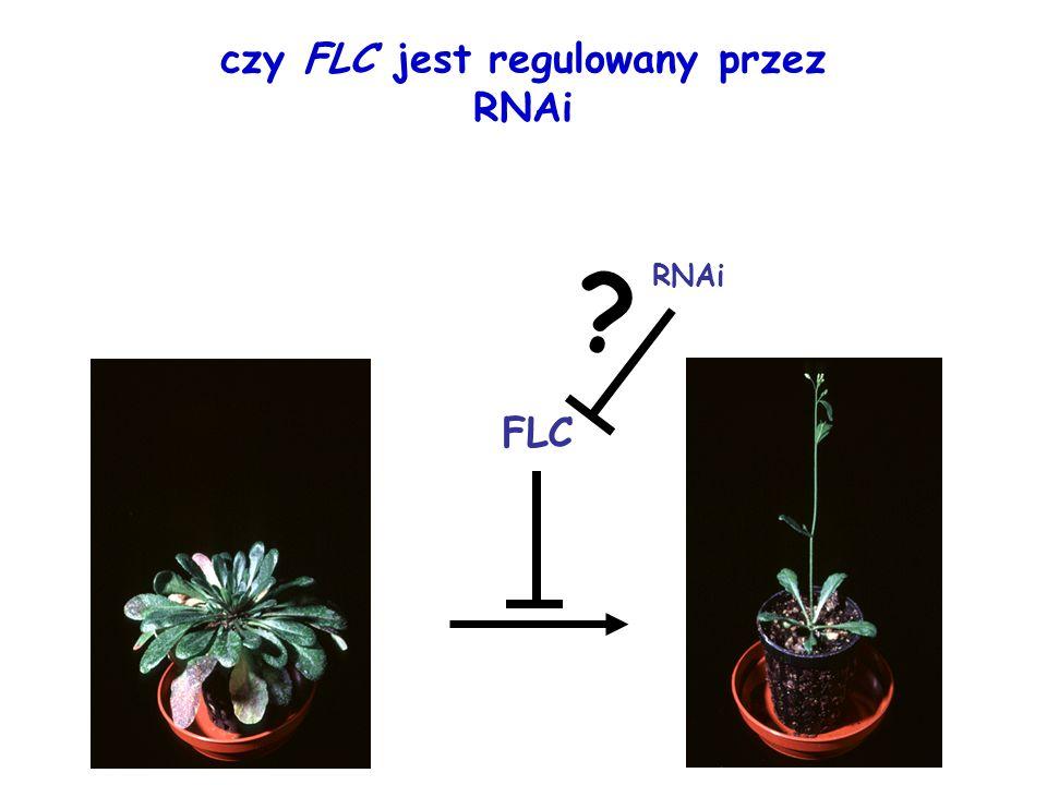 czy FLC jest regulowany przez RNAi