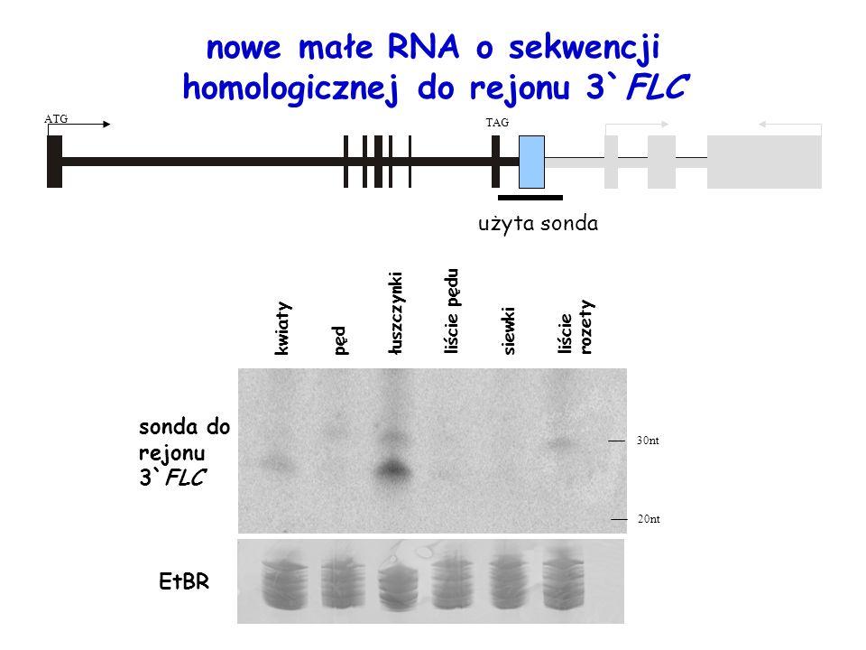 nowe małe RNA o sekwencji homologicznej do rejonu 3`FLC