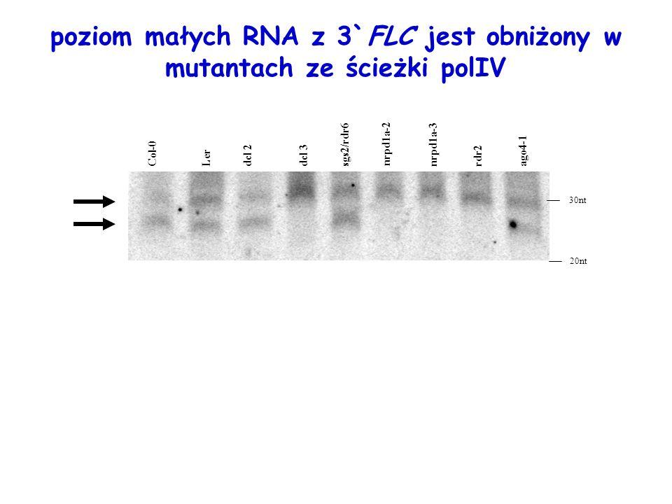 poziom małych RNA z 3`FLC jest obniżony w mutantach ze ścieżki polIV